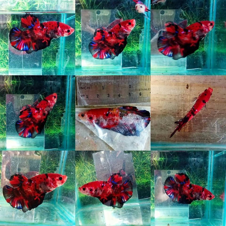 Normal Betta Vs Gaint Betta Fish Guide Siamese Fighting Fish By