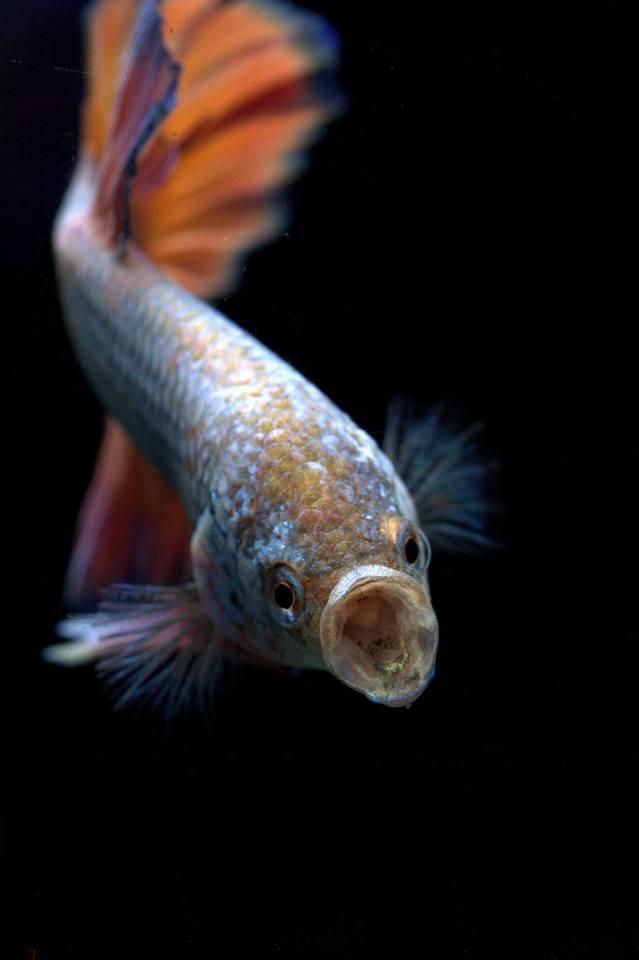 Betta breeding siamese fighting fish by bettaboy for Betta fish mating
