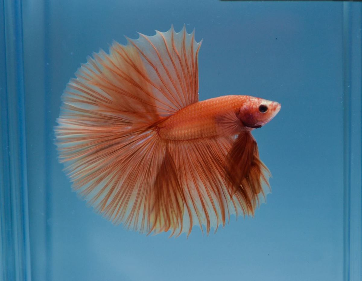 Show grade betta vs Normal pet shop betta   Siamese Fighting Fish by ...