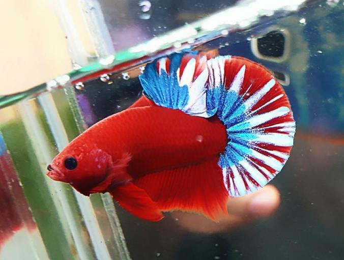 Betta Fish Fight | Rare Solid Red Body With Fancy Tail Hmpk Betta Fish Siamese